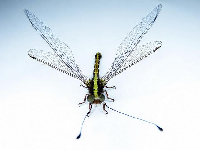 An Owlfly