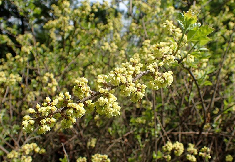 Fragrant Sumac doesn't smell all that great, but, it's a great choice for dry areas where it will get little maintenance.