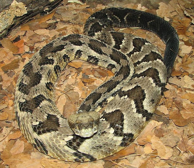 A timber rattlesnake.