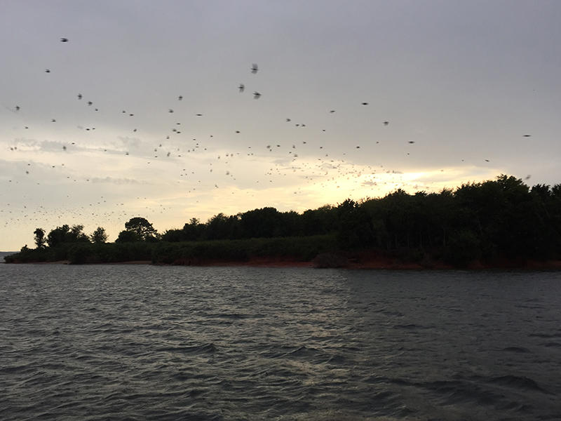 Tens of thousands of purple martins return to Bomb Island at dusk.