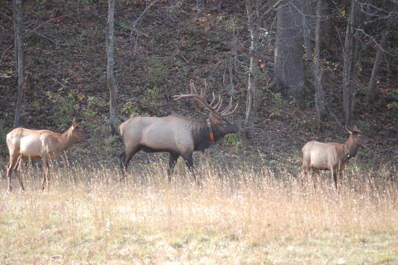Elk in the Cataloochee Valley in North Carolina