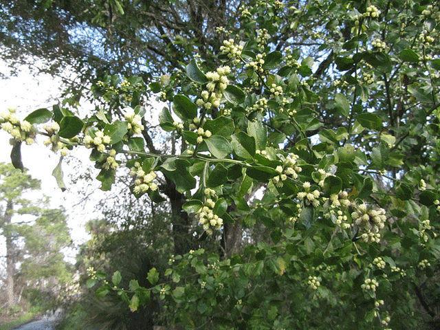 A Groundsel Tree