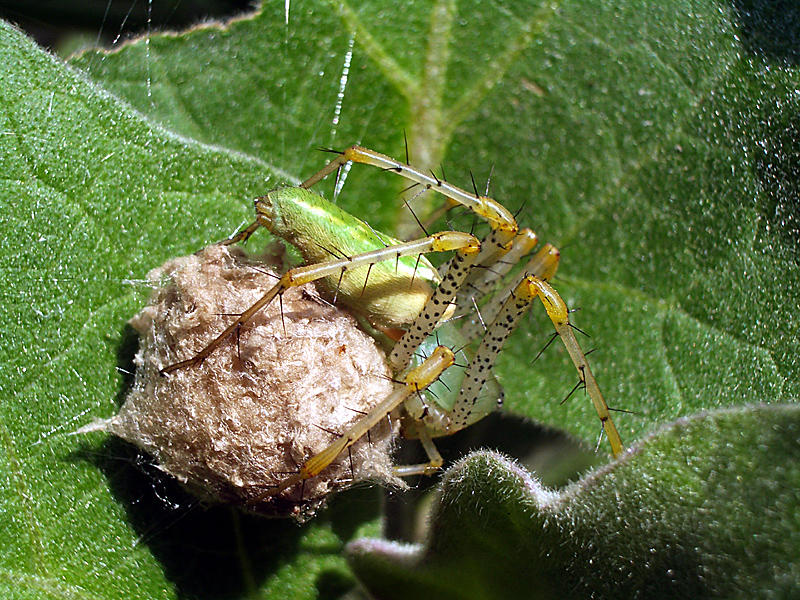 A Green Lynx Spider guarding its egg sac.