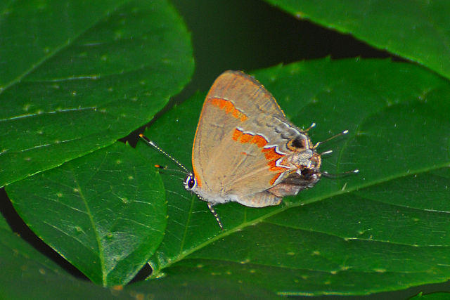 Red-banded Hairstreak (Calycopis cecrops) in Stone Mountain Park, Georgia.Photo taken in the summer of 2007.