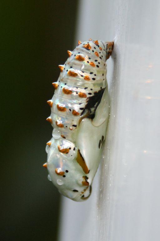 The pupa of a Variegated Fritillary (Euptoieta claudia) Butterfly photographed in a garden in Rock Hill, South Carolina.