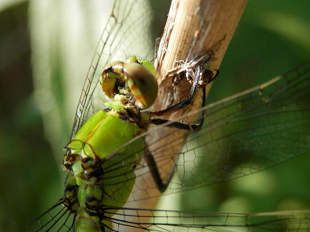 The Eastern Pondhawk Dragonfly