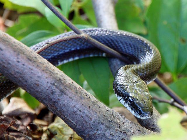 An adult Black Rat Snake.