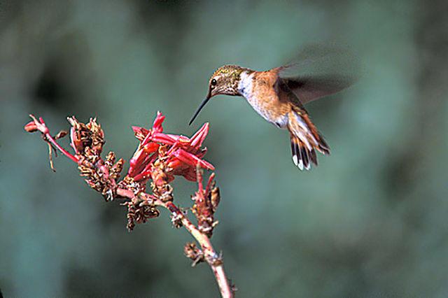 A female Broad-Tailed Hummingbird.