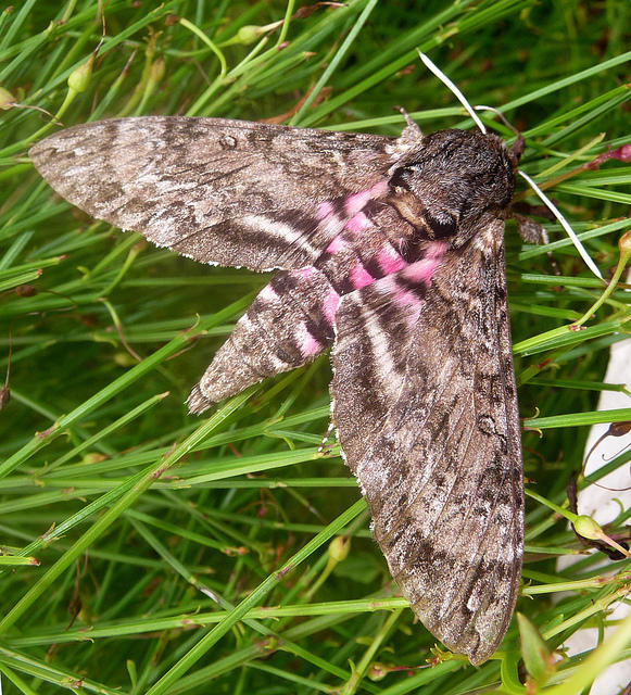 A Pink Spotted Hawk Moth.