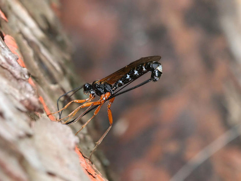 An Ichneumon wasp ovipositing through wood.