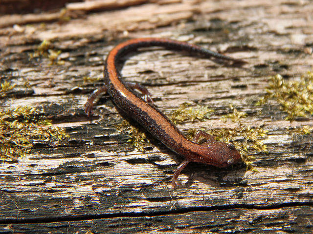 A Southern Red-Backed Salamander.