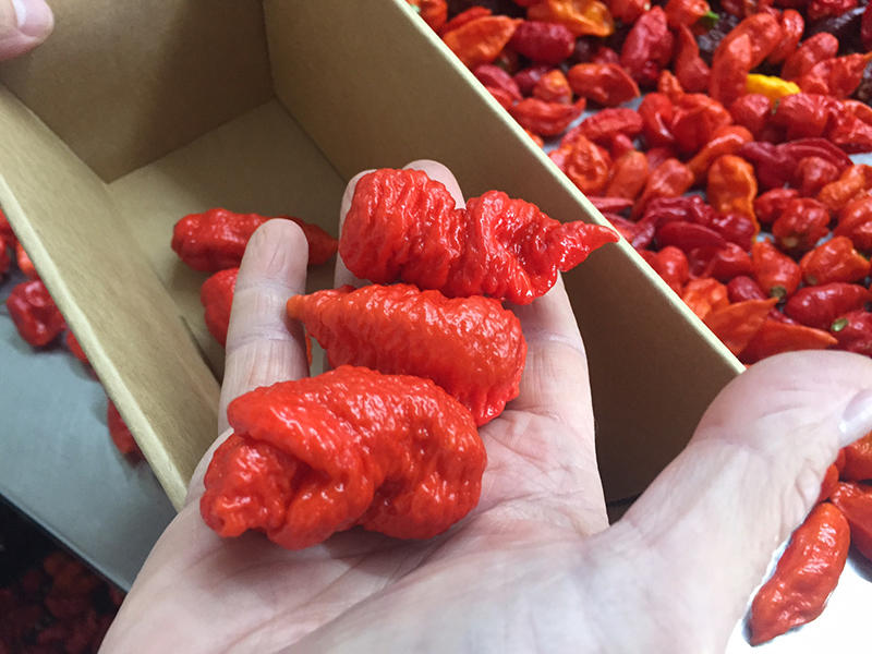 The world's hottest pepper- the Carolina Reaper, grown in Fort Mill.
