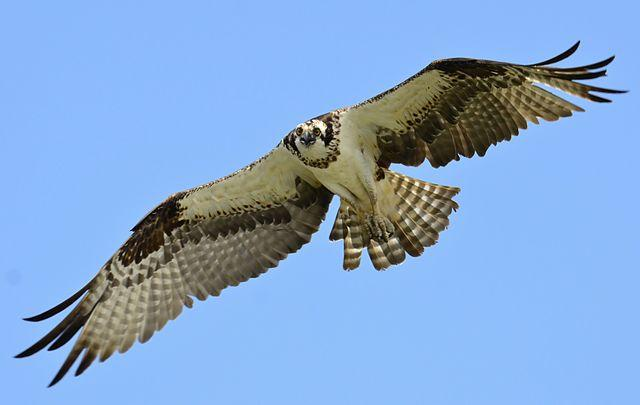 An Osprey in flight.