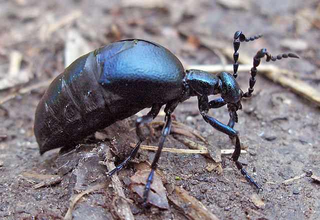 An Oil Beetle