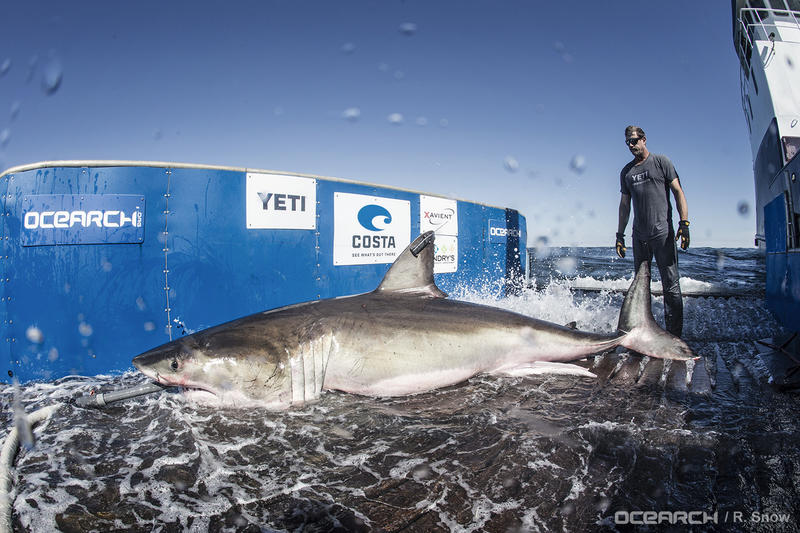 White male shark, Hilton, caught on this expedition