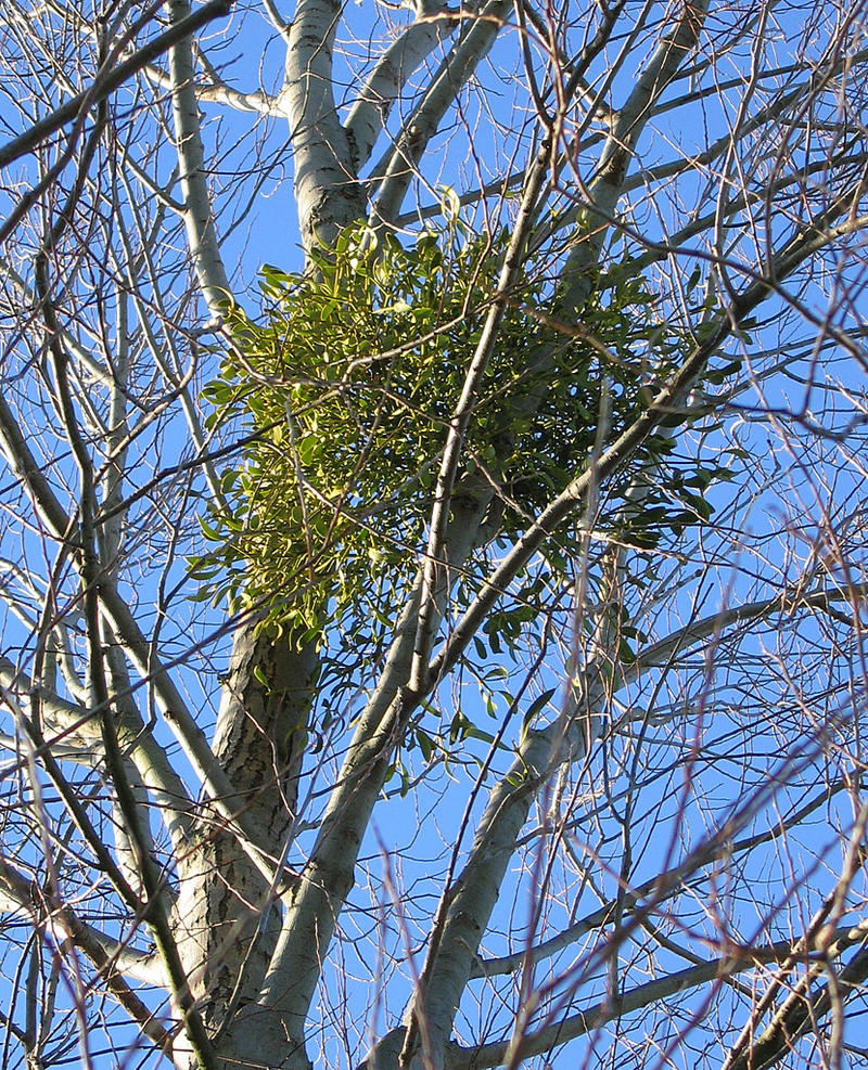 Mistletoe in a Silver Birch Tree.