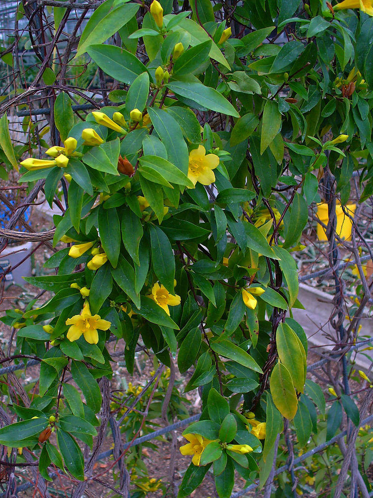 A Yellow Jessamine vine with buds and blooms.