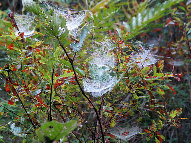 Several Bowl and Doily Spider's webs wet with dew, on a trail in the Adirondacks, between Long Pond and Bessie Pond, St. Regis Canoe Area.