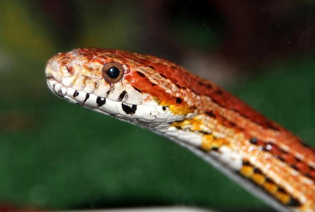 The Corn Snake eats small birds and mammals.