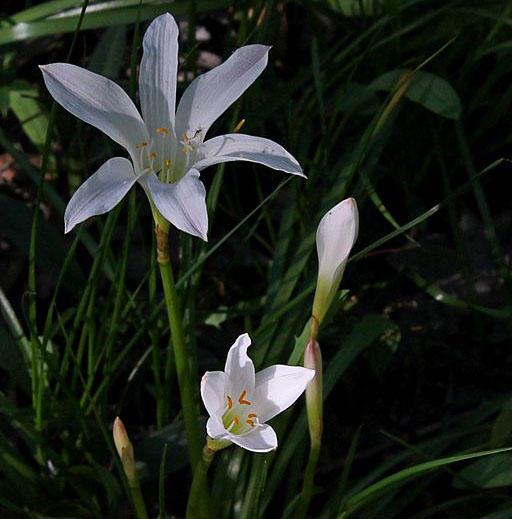 Atamasco Lily (Rain Lily), Badin Upland Swamp, Uwharrie National Forest, North Carolina.