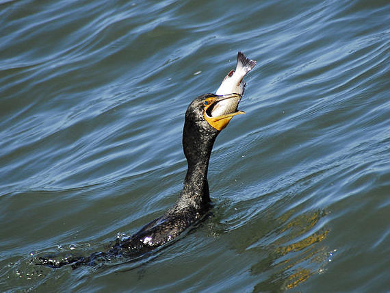 Double Crested Cormorant fishing.