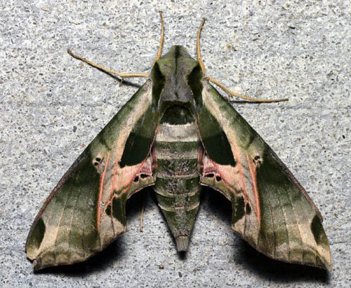 Pandorus Sphinx, Eumorpha pandorus, Durham, North Carolina, United States