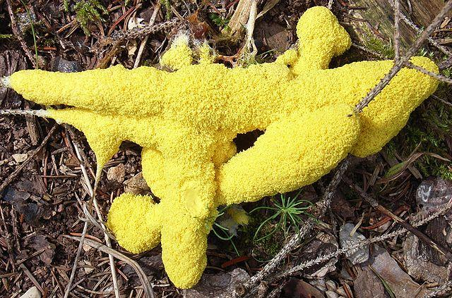 "The ""Scrambled Egg"" slime mold."