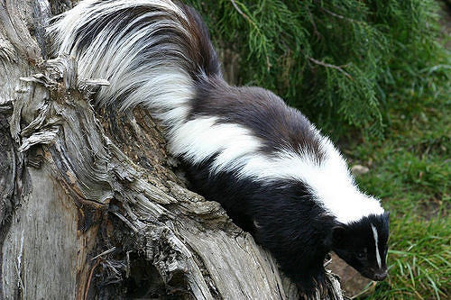 A Striped Skunk at the London Zoo.