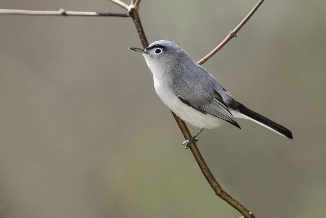 A Blue-gray Gnatcatcher.