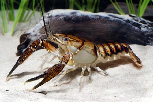 Lagniappe crawfish.