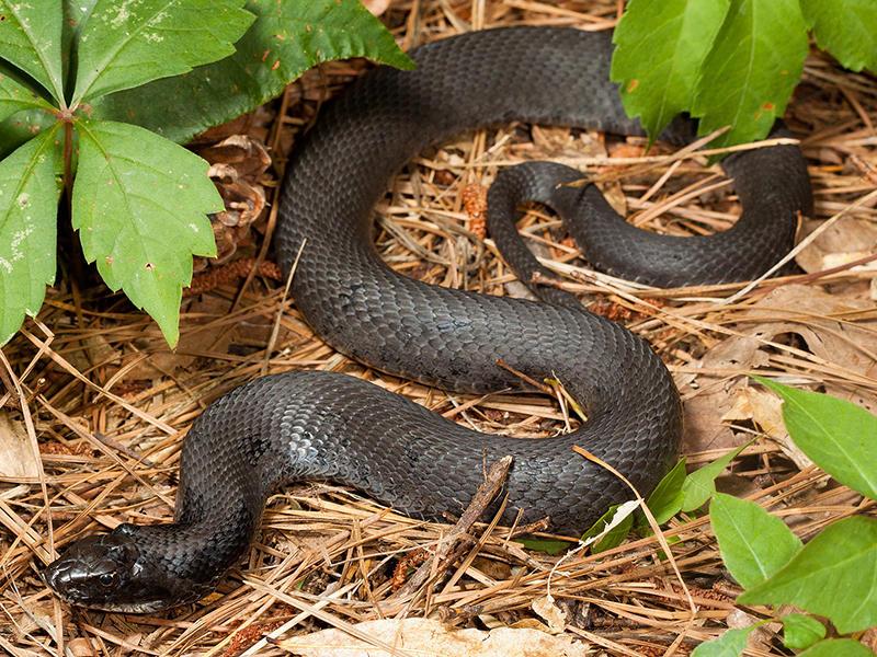 A melanistic Hognose snake.