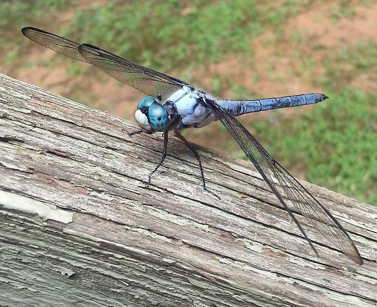 A Great Blue Skimmer (Libellula vibrans) in Durham, North Carolina, July 2014.