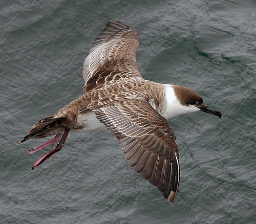 Greater Shearwater, or Great Shearwater (Puffinus gravis)