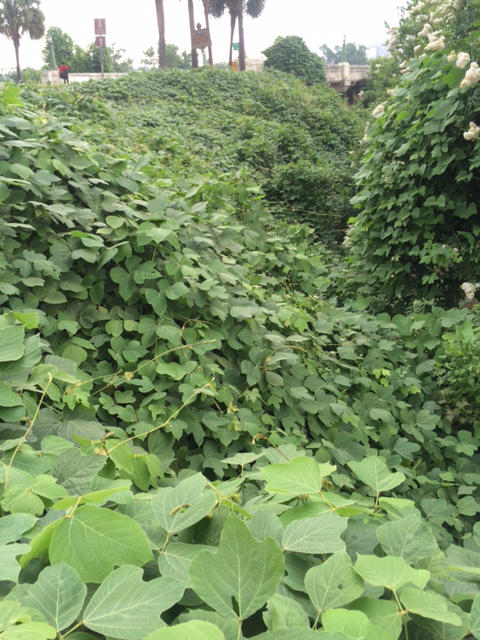 Kudzu failed to deliver on its promise as erosion control, but spread so fast it has become an icon of the South.