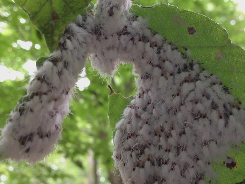 Grylloprociphilus imbricator - Beech Blight Aphids, on American Beech (Fagus grandifolia).