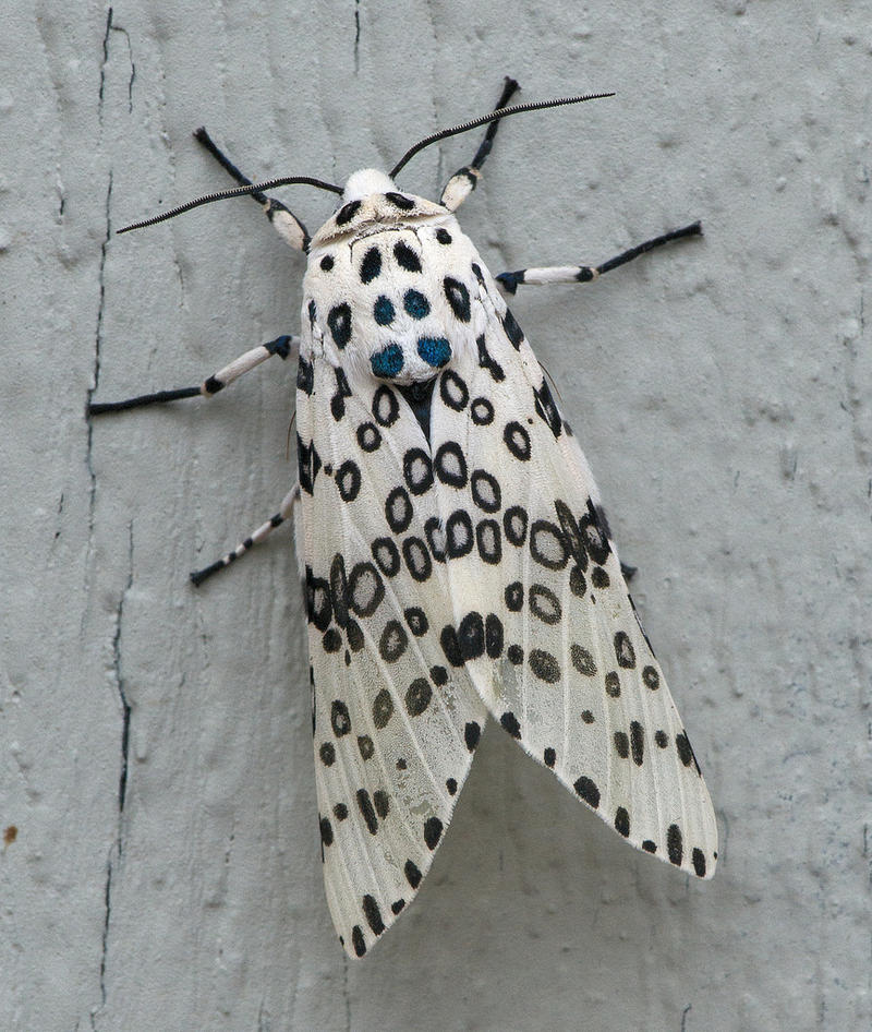 A Giant Leopard moth, Hypercompe scribonia, 1.25 inches long, in Austin, Texas.
