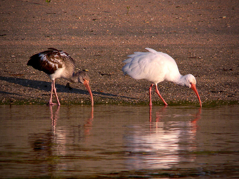 At sunrise, an adult white ibis teaches her child the fine art of synchronized foraging along a mud flat. These two were part of large flock that spent the night on Munyon Island at John D MacArthur Beach State Park in Florida.