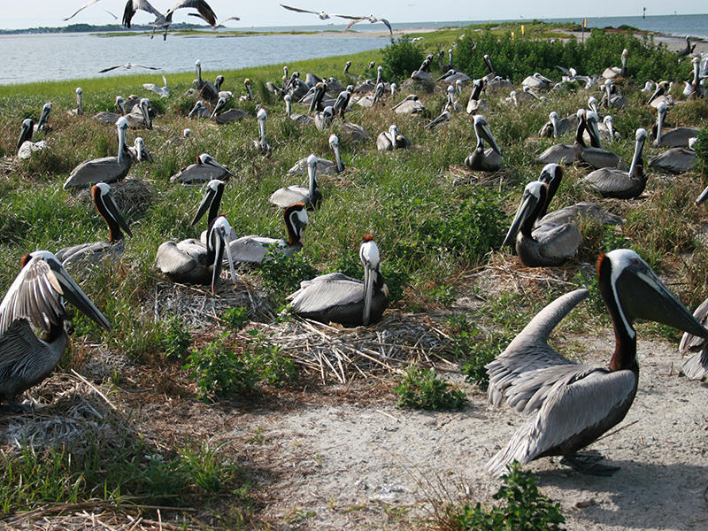 Prior to May, 2017, about 500 pelican nests, and those of other seabirds, were established on Crab Bank near Charlestons Shem Creek.
