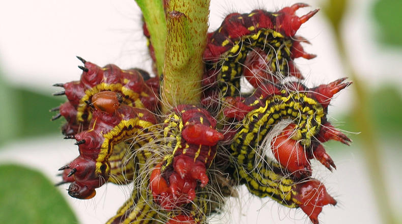 Red-headed Azalea caterpillars