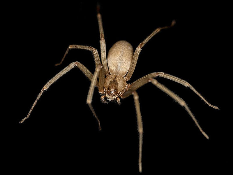 The brown recluse spider's bite can cause serious health problems, causing necrosis, or a rotting of the skin around the bite.  It lives in South Carolina, but fortunately, encounters with people are rare unless a human invades its web.