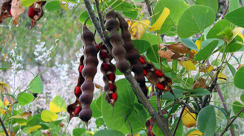 Mature Coral Bean seed pods.