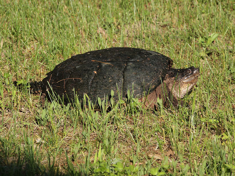 An Eastern Snapping Turtle.