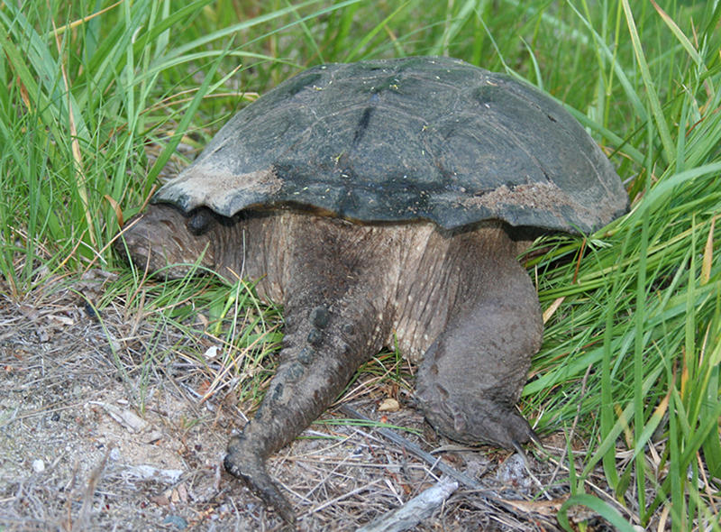 A rear view of an Eastern Snapping Turtle.