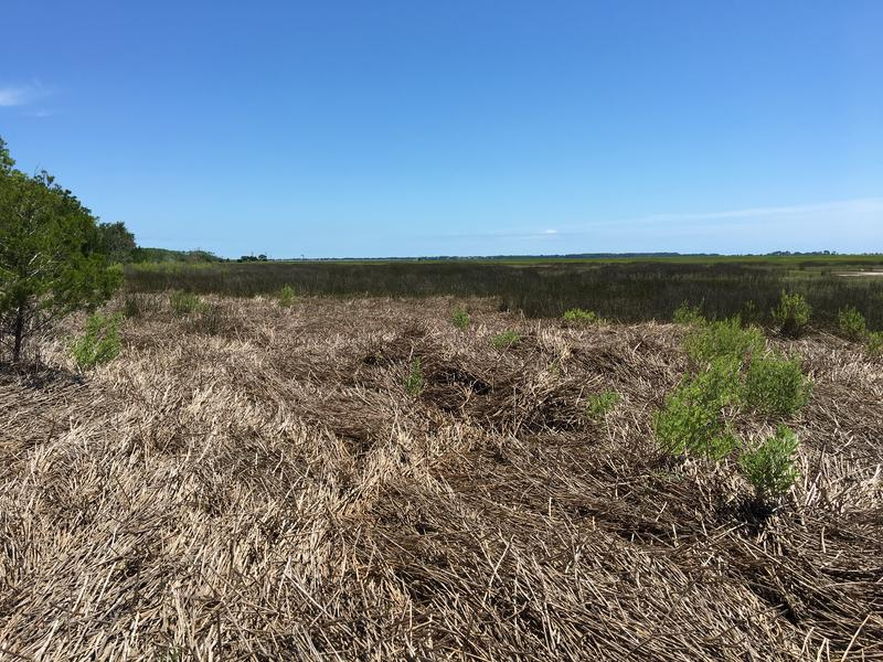 Where the forest borders salt marsh, there are still visible effects of Matthew's winds and storm surge.
