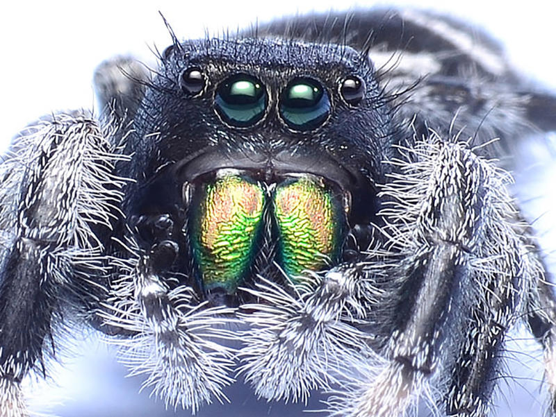 A Regal Jumping Spider