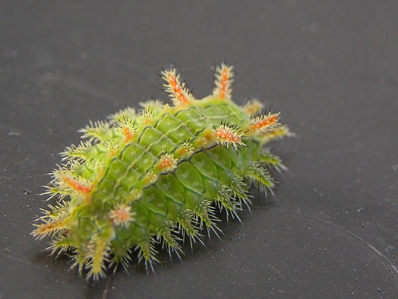 The projections on a Spiny Oak-Slug caterpillar will sting, so, don't touch..