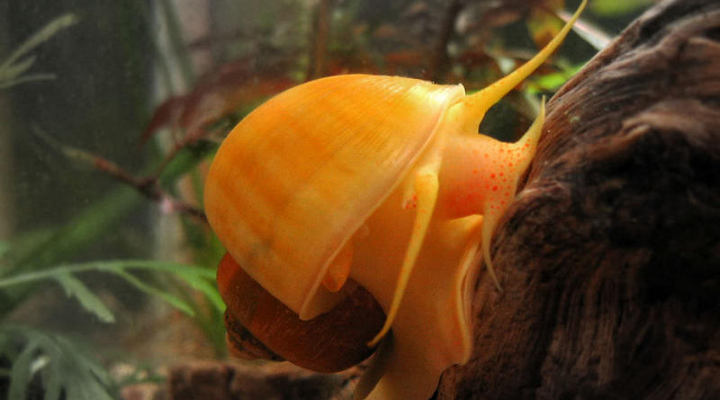 An Island Apple Snail.