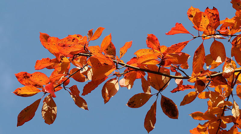 Black tupelo tree leaves turn brilliant red-orange in the fall.