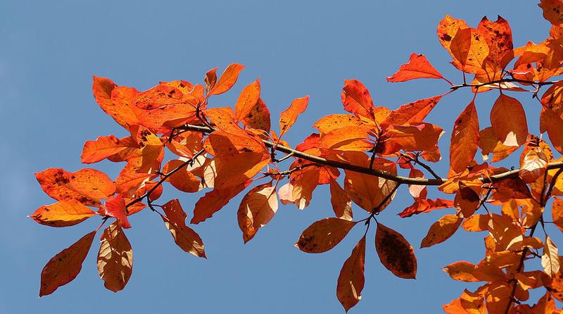 Black tupelo tree leaves turn brilliant red-orange in the fall.