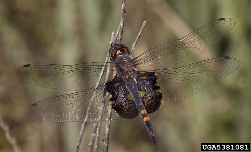 A black saddlebags dragonfly.